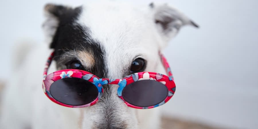black and white dog in pink flower sunglasses
